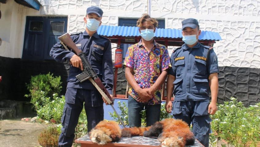 रेडपाण्डा लगायत अन्य जनावरको दैनिक चोरी निकासी बढ्याे