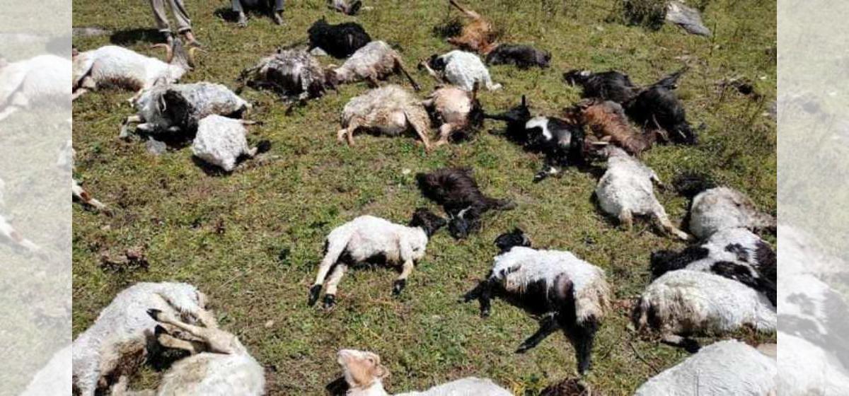 भेडाको बथानमा चट्याङ, ४० भेडा मरे