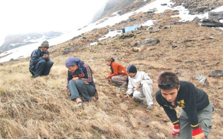 गाउँले जडिबुटी संकलन गर्न गए, जनगणनामा छैन वास्ता